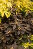 Rhododendron PJM Elite_4112