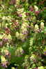 Origanum rotundifolium Kent Beauty_025
