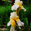 Herb Yellow Iris