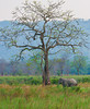 The Elephant and The Tree = Kaziranga National Park (India)