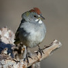 Green-tailed Towhee  Mammoth Lakes 2014-08-19 (1 of 2).CR2 (1 of 2).CR2
