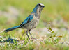 Florida Scrub Jay on the Ground