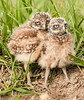 Siblings - Burrowing Owls