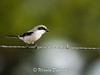 Loggerhead Shrike - Viera Wetlands, Viera, FL, bird of prey, florida wildlife