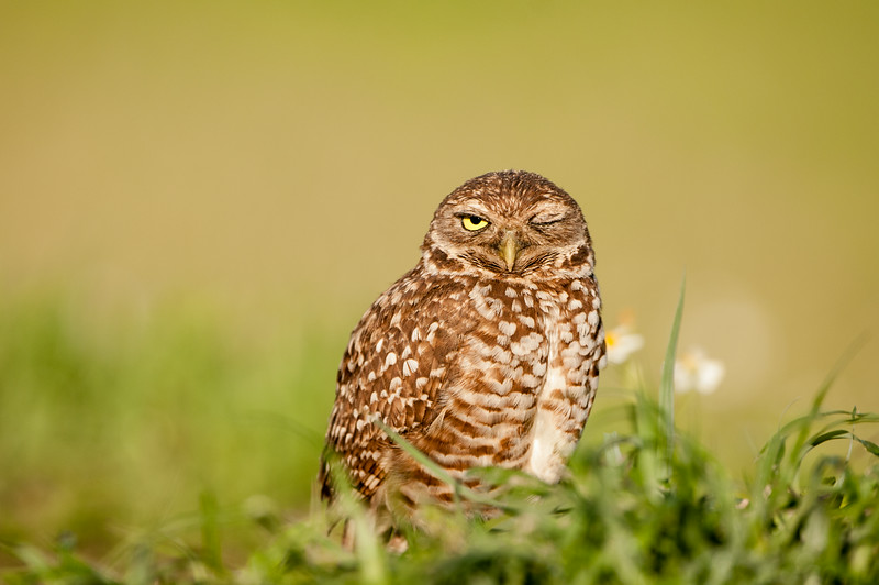 The Wink - Burrowing Owl