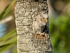 Looking out - Baby Eastern Screech Owl