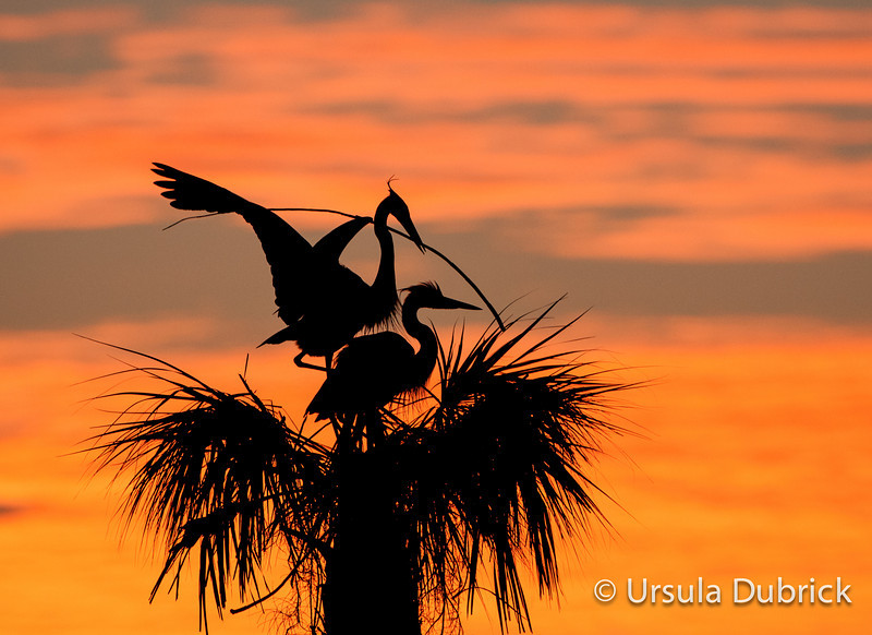 Great Blue Herons - Sunrise Stick Delivery - Male bringing in nesting material - Viera Wetlands, Viera, FL