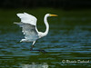 Soft Landing  - Great White Egret