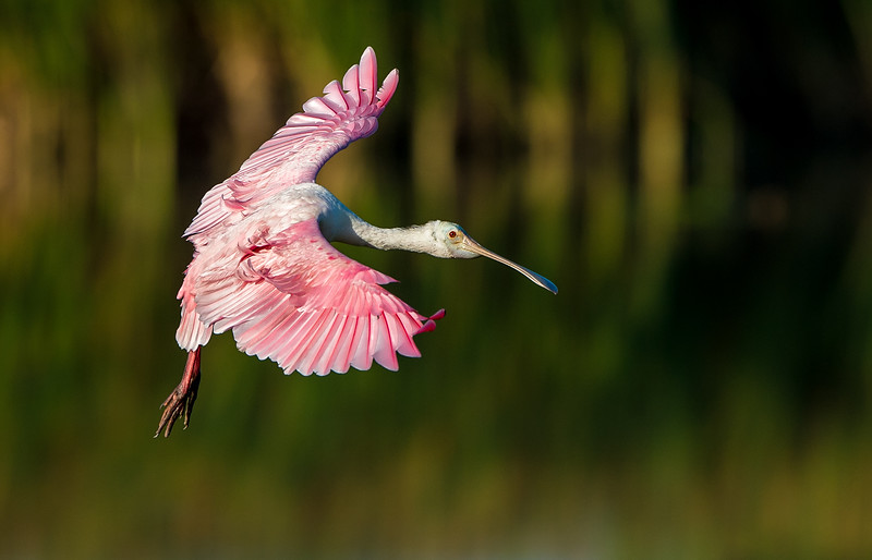 Orlando Wetlands = Roseate Spoonbill in Flight