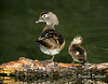 Mom and baby Wood Duck