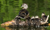 Crowded Log - Mom Wood Duck and her babies
