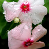 Rain drops dance on beautiful blooms Thursday, July 17, 2014. (Staff Photo by BONNIE VCULEK)