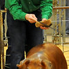 Caden Levings, from Noble County 4-H, enters the show ring with his Durock barrow during the 80th annual Northwest District Junior Livestock Show at the Chisholm Trail Expo Center; Levings placed first in his class for his efforts. (Staff Photo by BONNIE VCULEK)