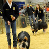 Colton Wichert, from Chisholm, and Shaelee Sissom drive their Bershire barrows around the show ring during the 80th annual Northwest District Junior Livestock Show at the Chisholm Trail Expo Center Saturday, March 8, 2014. (Staff Photo by BONNIE VCULEK)
