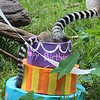 Ring-tailed Lemur birthday party - 7/2013