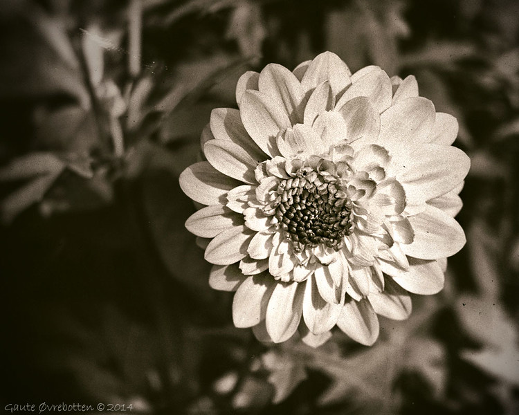 Dahlia.<br /> Captured with lens Helios 44-2 58 mm f2. Edited in Analog Efex Pro 2 (wet plate) and PSE12.