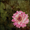 Dahlia  (Lensbaby Composer Pro, Sweet 35, Flypaper textures: Metallic & Tintype Edges)
