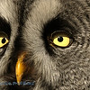 Close-up eyes Strix nebulosa; Chouette lapone; Laplanduil; Great Grey Owl; Bartkauz