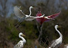 egrets and roseate spoonbill