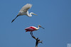 egret and roseate spoonbill