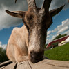 20130804_Farm_Sanctuary_Hoe_Down_8401