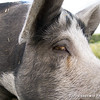 20130804_Farm_Sanctuary_Hoe_Down_8356