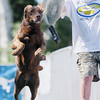 Record-Eagle/Keith King<br /> Moses, a Chesapeake Bay retriever, jumps after a goose trainer thrown by owner Bill Johnston, of Traverse City, during the National Cherry Festival Ultimate Air Dogs competition.
