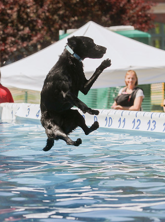 Record-Eagle/Keith King<br /> Zoom, a black lab owned by Susan Harrington, of Ohio, lands in a pool during the National Cherry Festival Ultimate Air Dogs competition.
