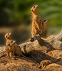 • Location - Brevard Zoo<br /> • Meerkats