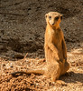 • Location -Brevard Zoo<br /> • Meerkat