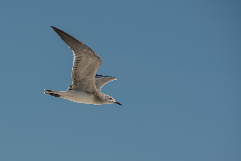 • Location - Sebastian Inlet State Park North Jetty<br /> • Bonaparte's Gull