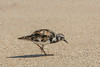 • Location - Sebastian Inlet State Park North Jetty<br /> • Ruddy Turnstone