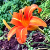 This is a day lily in Elizabeth Bachman's garden. Photo By Elizabeth Bachman