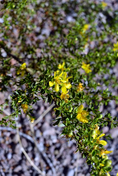 have you ever smelled Creosote bush after a rain? Divine!