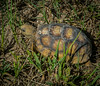 Immature Gopher Tortoise