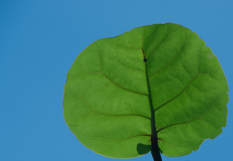 Back-lit Sea Grape Leaf