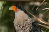 • Location - Brevard Zoo<br /> • Crested Caracara