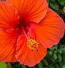 Orange Hibiscus