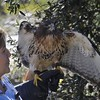 <b>Debbie Fritz-Quincy shows off Red-Tailed Hawk at Hobe Sound Nature Center</b>  January 15, 2015  <i>- Anthony Lang</i>
