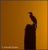 • Location - Viera Wetlands • A silhouette of a Double Crested Cormorant at Sunrise