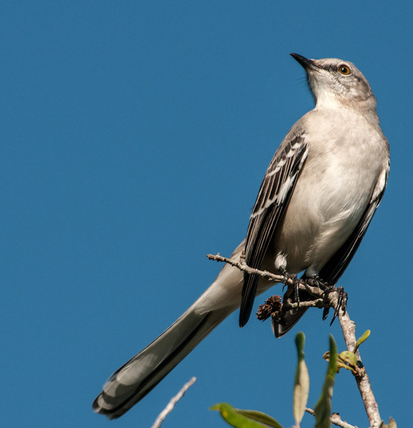• Location - Wellington Environmental Reserve • Northern Mockingbird