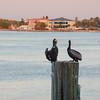 Pelicans discussing their day