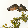 Salt Pt. fledgling take-off by ccb5 August 17, 2014 - Version 3