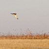 Short-eared Owl2 by ccb5 January 2014