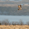 Long Pt. Short-eared Owl2, March 2014