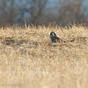 Long Pt. Short-eared Owl4, March 2014