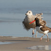 EAB gull and oystercatcher by ccb5 May 2014