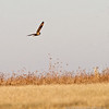 Short-eared Owl1 by ccb5 January 2014