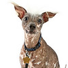 Worlds_Ugliest_Dog_2014_bandit_12804