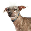 Worlds_Ugliest_Dog_2014_bandit_12800